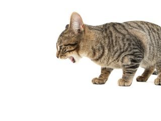 よく吐く猫